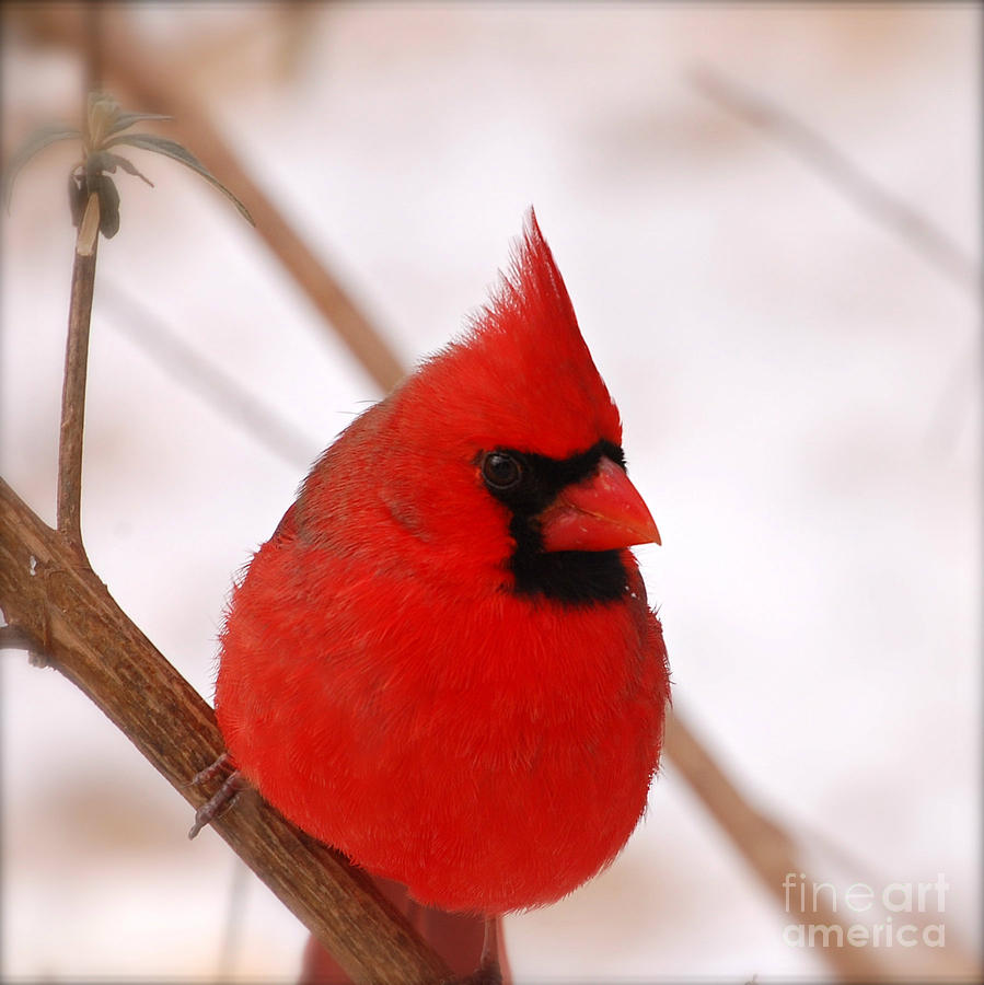 Big red cardinal bird in snow photograph by peggy franz - Pictures of cardinals in snow ...