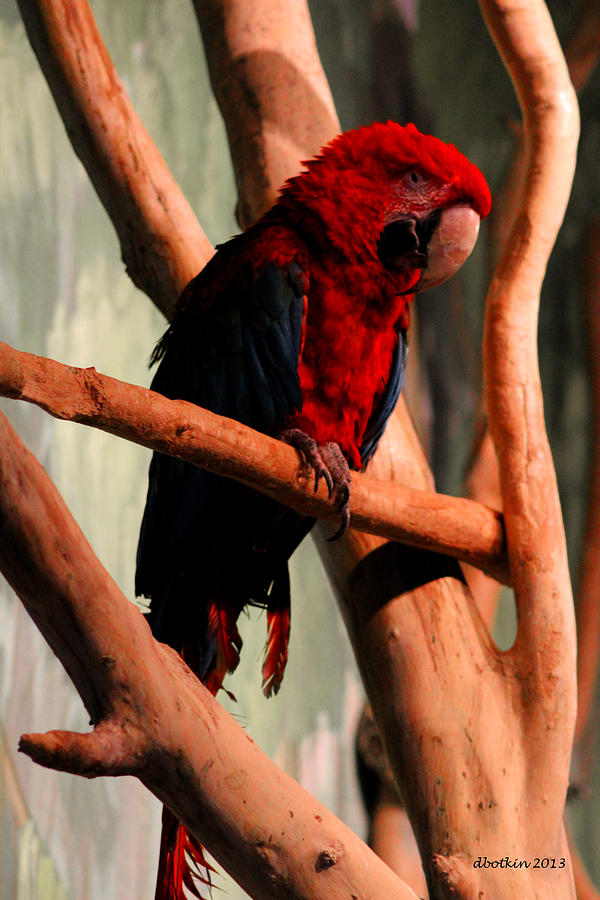 Zoo Photograph - Big Red by Dick Botkin