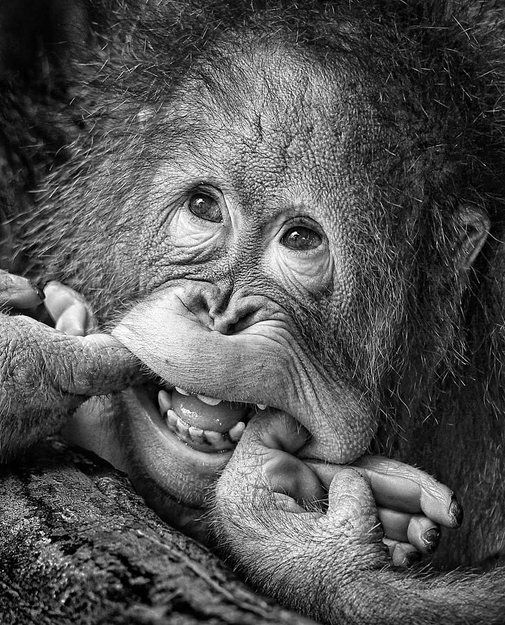Ape Photograph - Big Smile.....please by Angela Muliani Hartojo