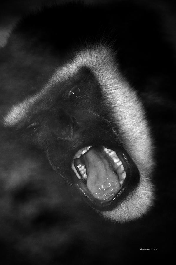 Primate Photograph - Big Yawn From This Monkey by Thomas Woolworth