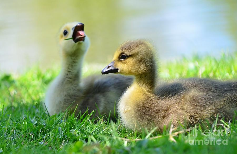 Goose Photograph - Big Yawn by Kathleen Struckle
