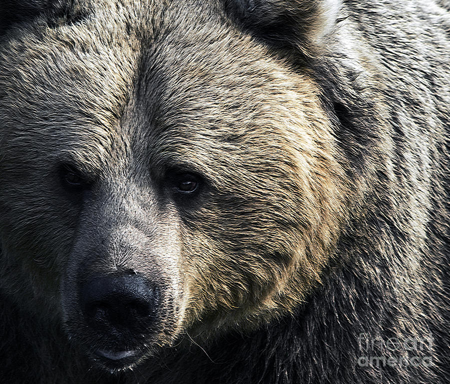 Bear Photograph - Bigger Than The Average Bear by Rick Bransby