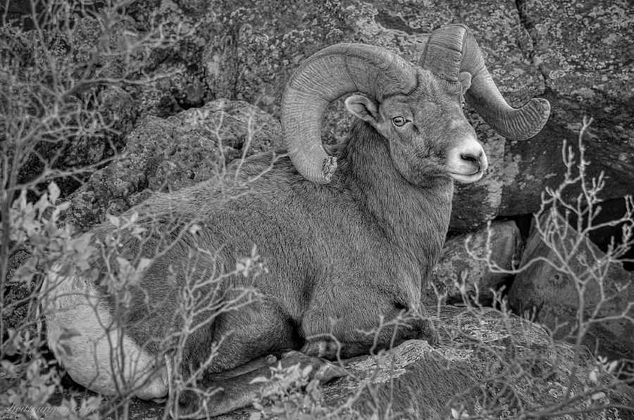 Bighorn Photograph - Bighorn Black and White by Britt Runyon