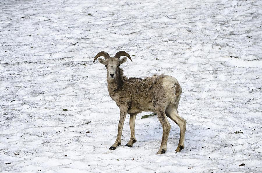 Bighorn Sheep Photograph