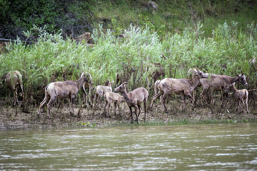 Group Photograph - Bighorn Sheep Ovis Canadensis On Bank by Whit Richardson