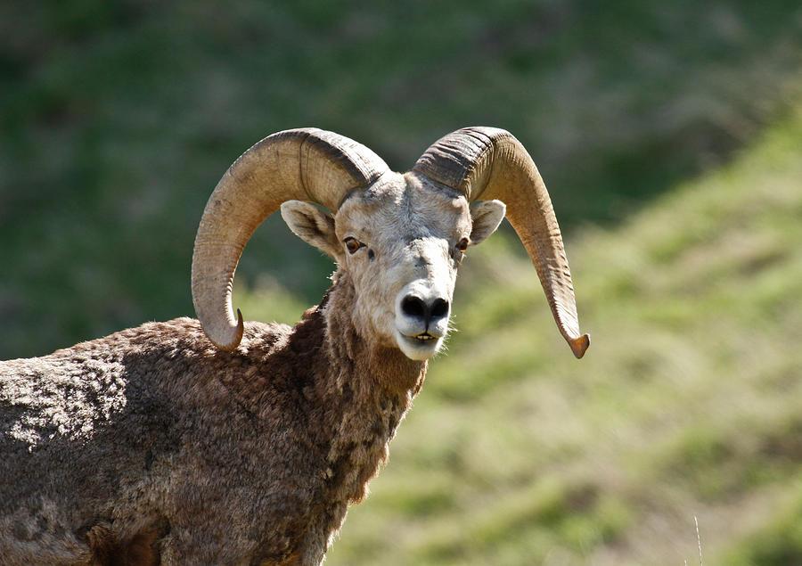 Bighorn Sheep Profile Photograph