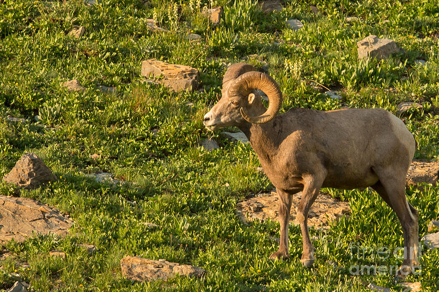 Bighorn Photograph - Bighorn Sheep Ram In Glacier 3 by Natural Focal Point Photography