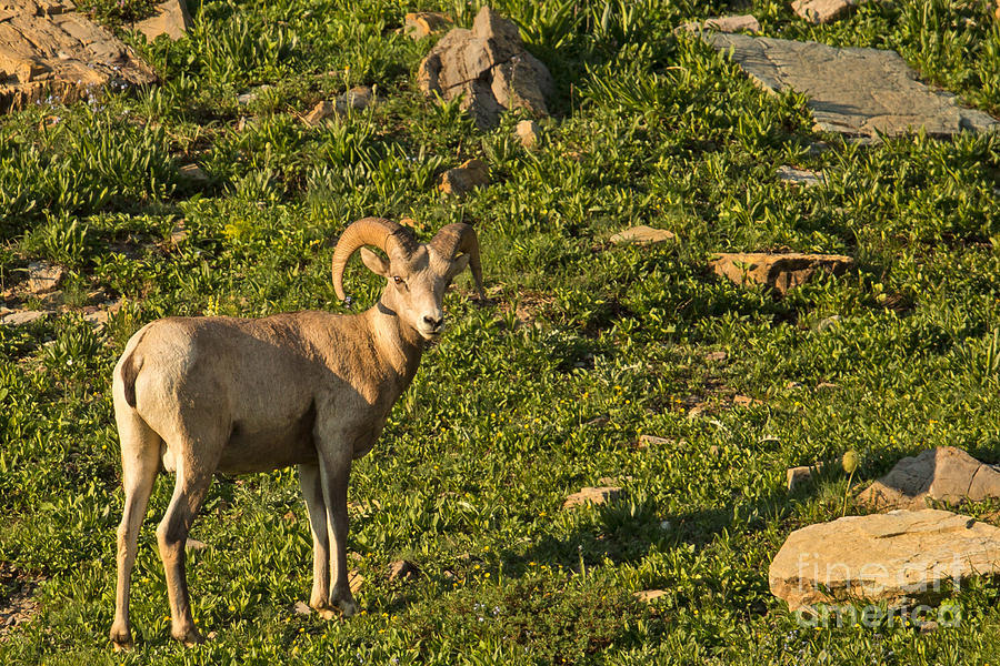 Bighorn Photograph - Bighorn Sheep Ram In Glacier 4 by Natural Focal Point Photography