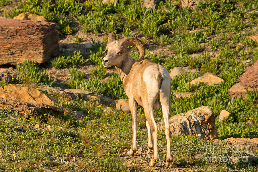 Bighorn Photograph - Bighorn Sheep Ram In Glacier by Natural Focal Point Photography