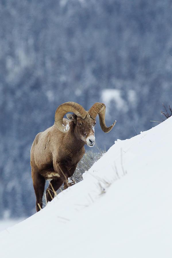 Bighorn Photograph - Bighorn Sheep Ram On Winter Range by Ken Archer