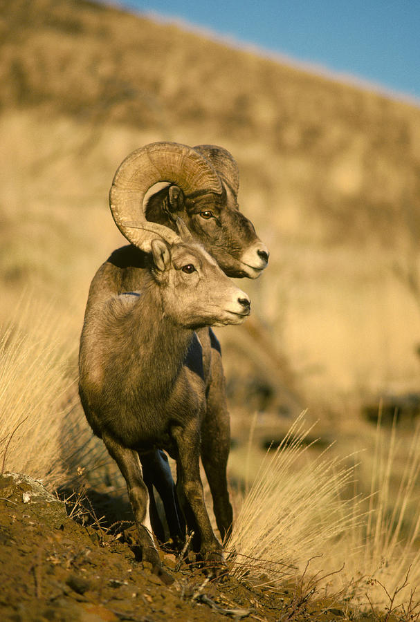 Bighorn Sheep Yellowstone Np Wyoming Photograph by Michael Quinton