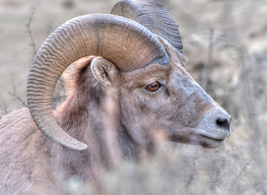 Rocky Mountain Bighorn Sheep Photograph - Bighorn Soft by Britt Runyon