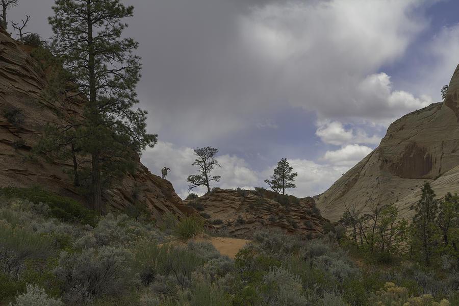 Bighorn Solo Photograph