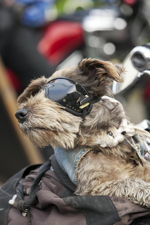 Biker Dog Photograph - Biker Dog by Gillian Dernie