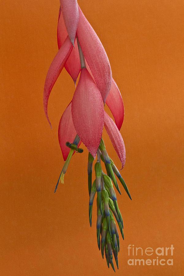 Heiko Photograph - Bilbergia  Windii Blossom by Heiko Koehrer-Wagner