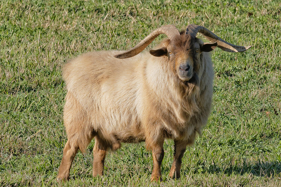 Animals Photograph - Billy Goat by Jim Thompson