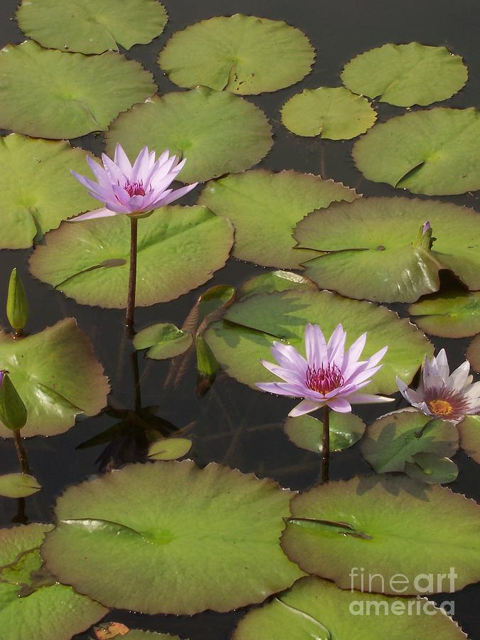 Water Photograph - Biltmore Water Lillies by Brook Steed