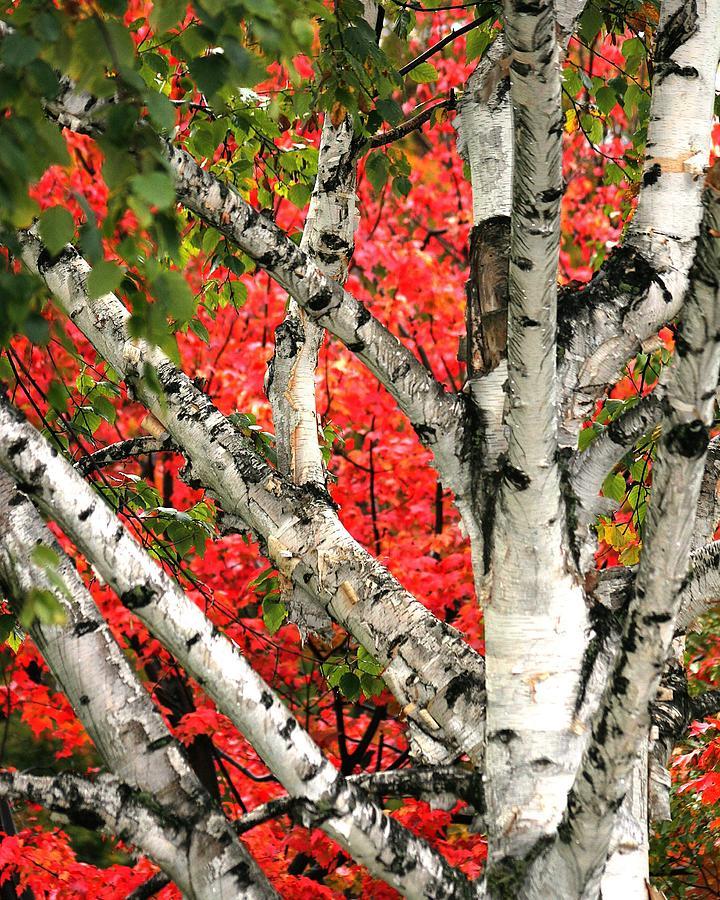 Birch Photograph - Birch Eclipsing Maple by Doris Potter