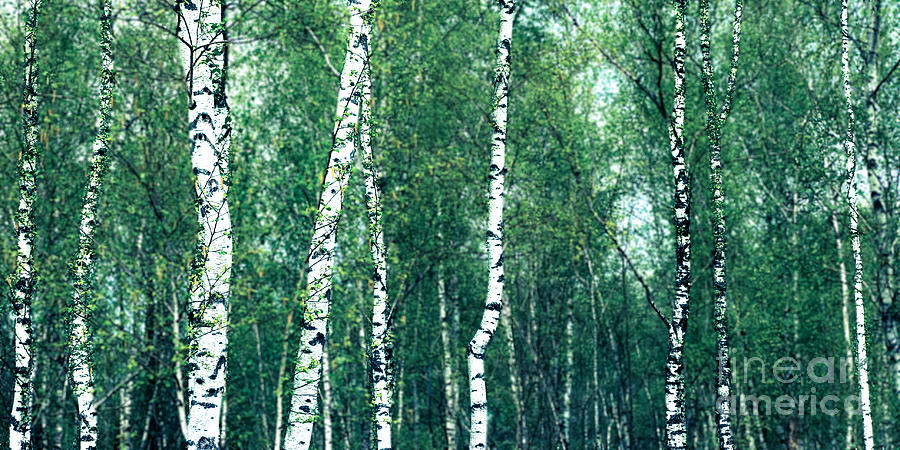 Abstract Photograph - Birch Forest - Green by Hannes Cmarits