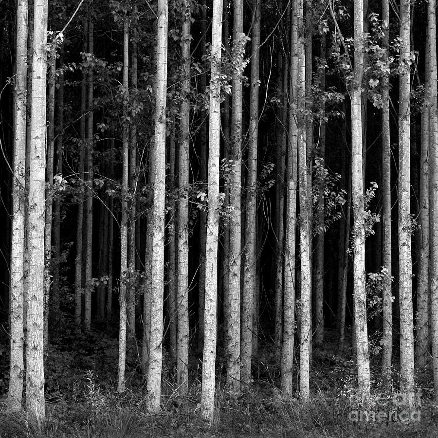 Birch Forest In Black And White Photograph By Douglas Taylor