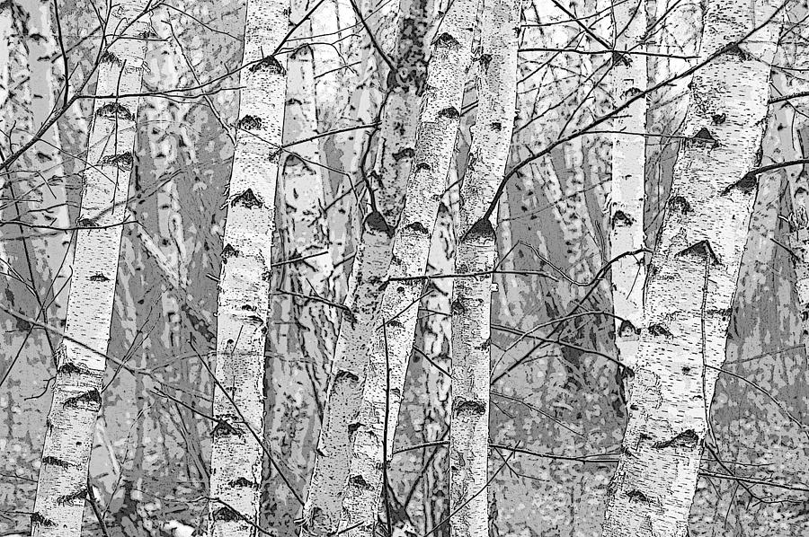 Pixels Photograph - Birch Forest by Rob Huntley