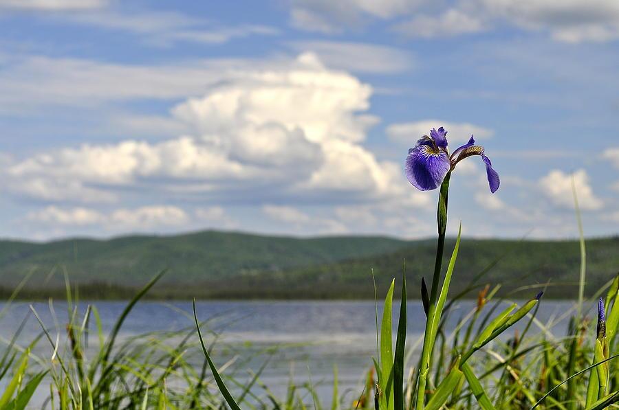 Iris Photograph - Birch Lake Iris by Cathy Mahnke
