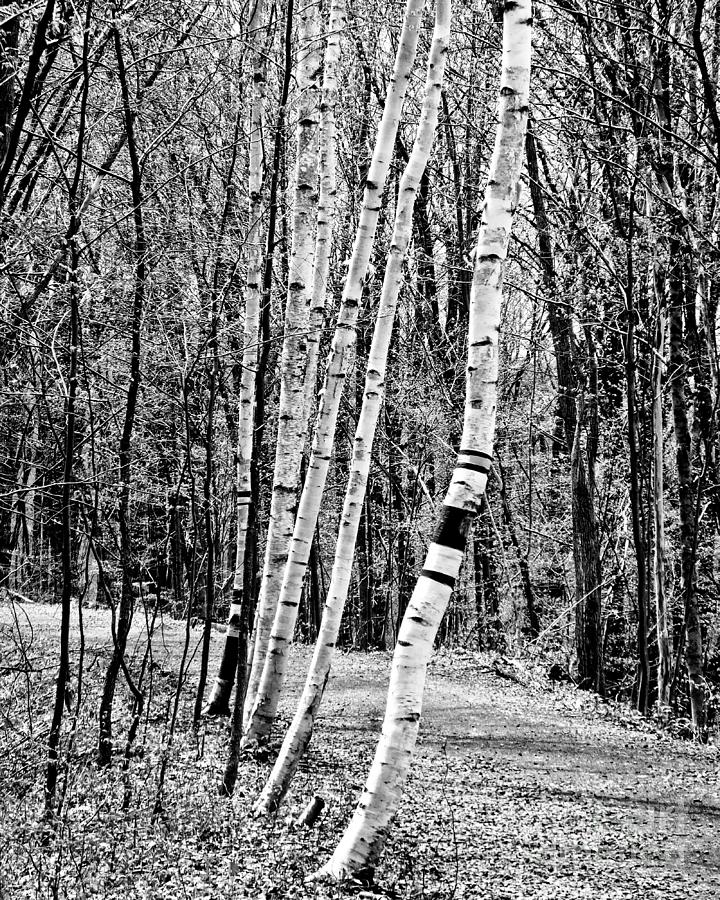 Birch Sentinels by Kristen Fox