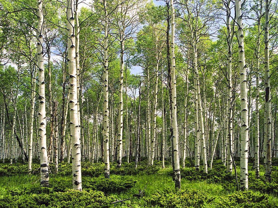 Forest Photograph - Birch Tree Grove In Summer by Randall Nyhof