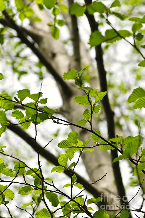 Birch Photograph - Birch Tree In Spring by Elena Elisseeva