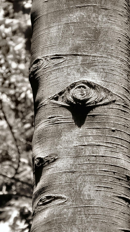 Nature Photograph - Birch Tree Spirits by Art Dingo