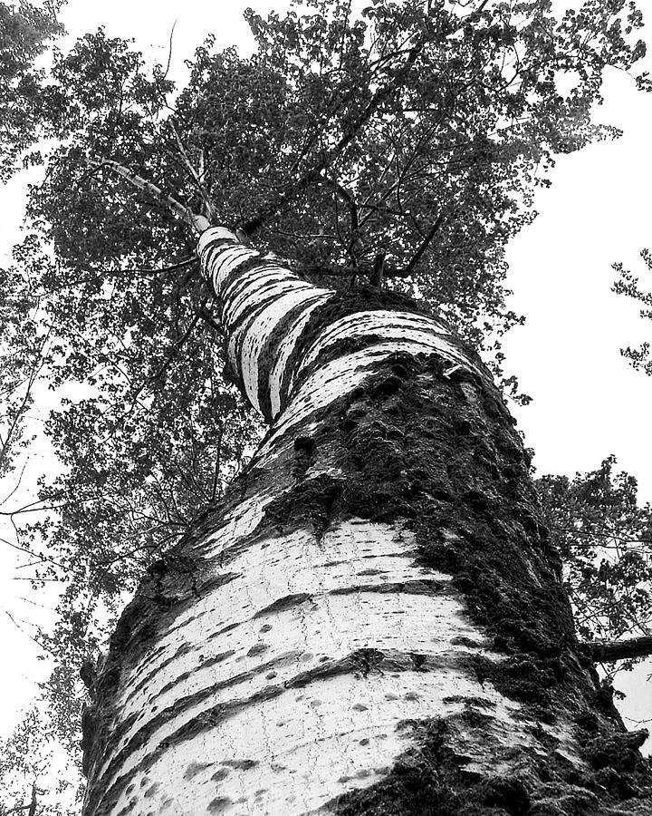 Birch Tree Photograph - Birch Tree by Tim Buisman