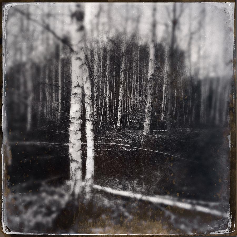 Birch Photograph - Birch trees in enchanted forest by Matthias Hauser
