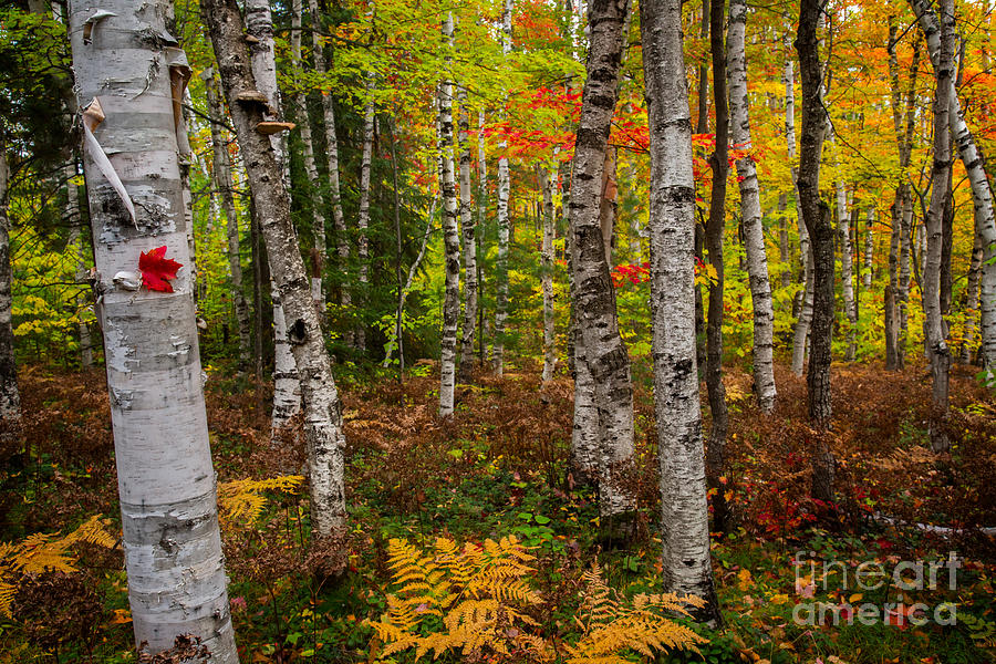 Pictured Rocks Photograph - Birch Trees by Todd Bielby
