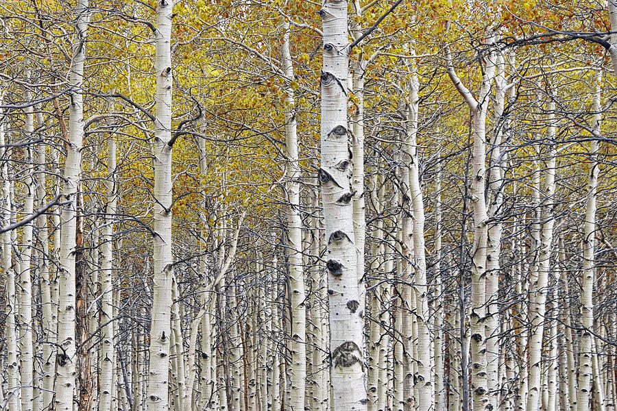 Birch Trees With A Touch Of Color Photograph