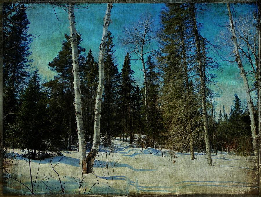 Birches  Photograph by Dianne  Lacourciere