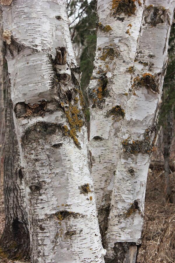 Birches Photograph