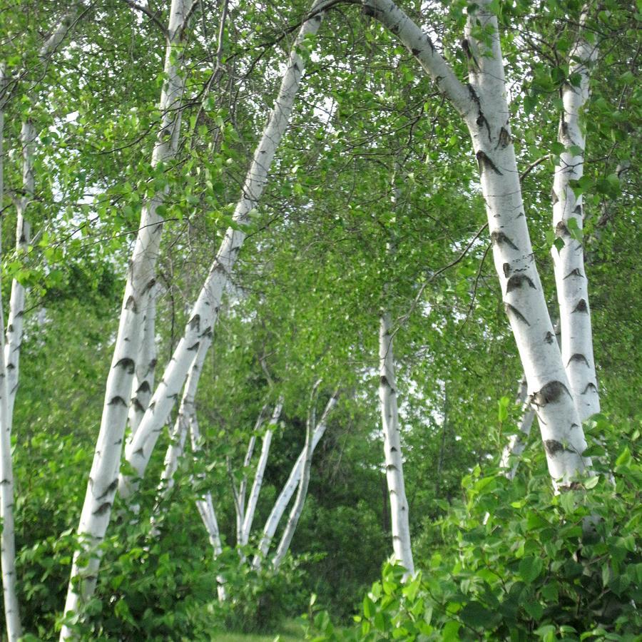 Maine Photograph - Birches by Patricia E Sundik