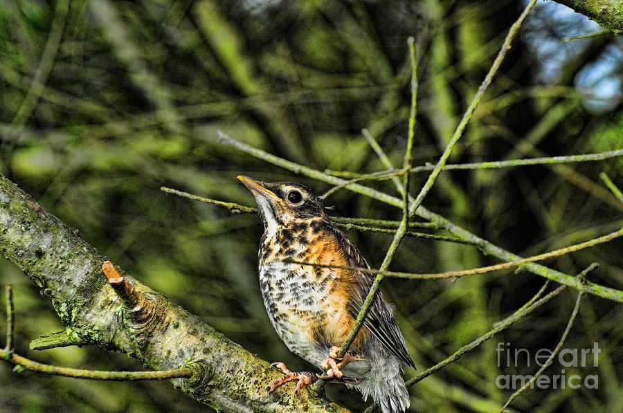 Paul Ward Photograph - Bird - Baby Robin by Paul Ward