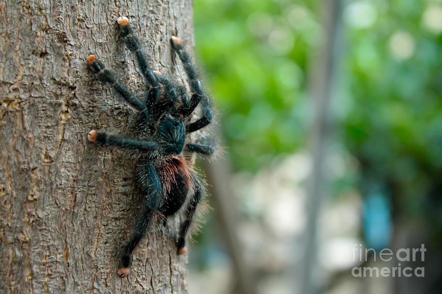 Arachnid Pyrography - Bird-eater Tarantula / Tarantula Comedora De Aves by Daniel Castillo