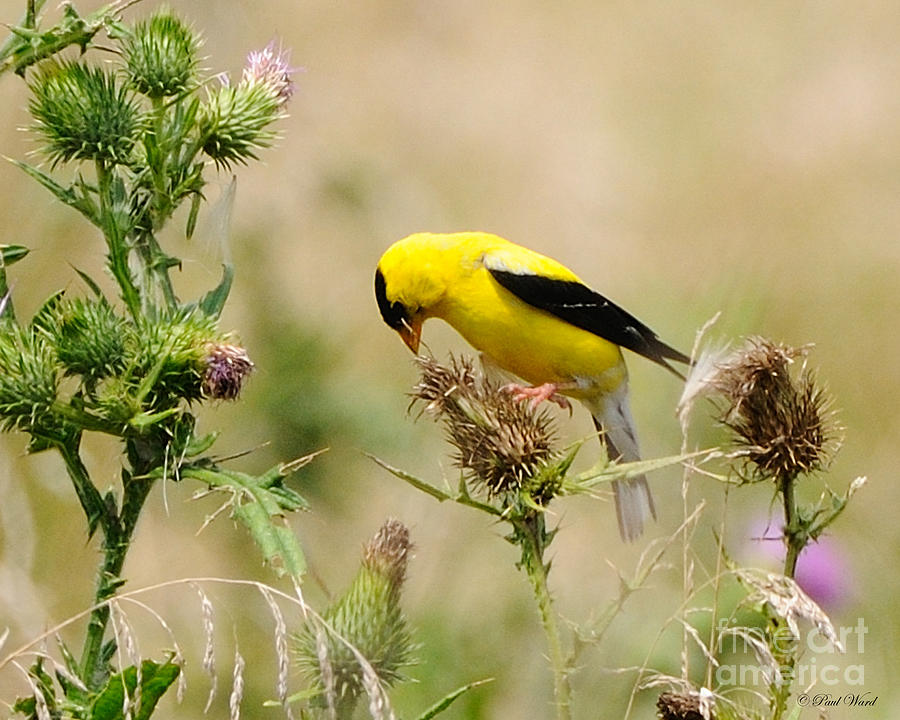 Golden Finch Photograph - Bird -gold Finch Feasting  by Paul Ward