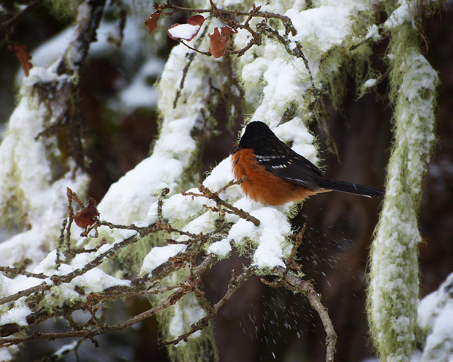 Bird Photograph - Bird In Snow by Monique Morin Matson