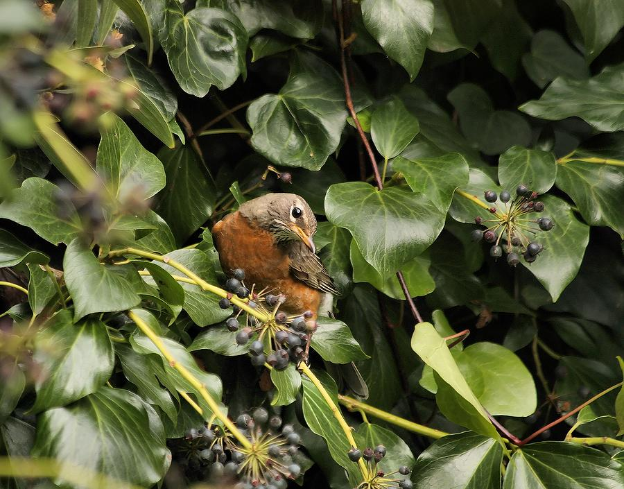 Bird Photograph - Bird In The Ivy by Elery Oxford
