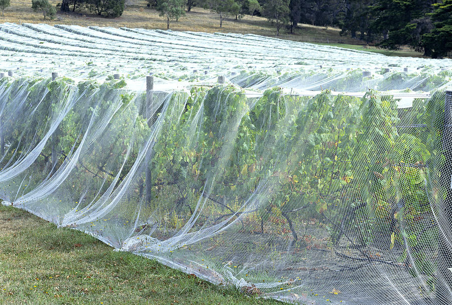 Pest Control Photograph - Bird Netting Over Crops by Alex Bartel/science Photo Library