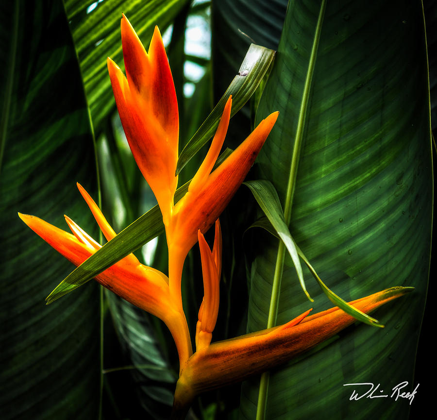 Tropical Photograph - Bird Of Paradise 2 by William Reek