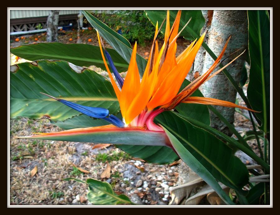 Bird Of Paradise Photograph by Bruce Kessler