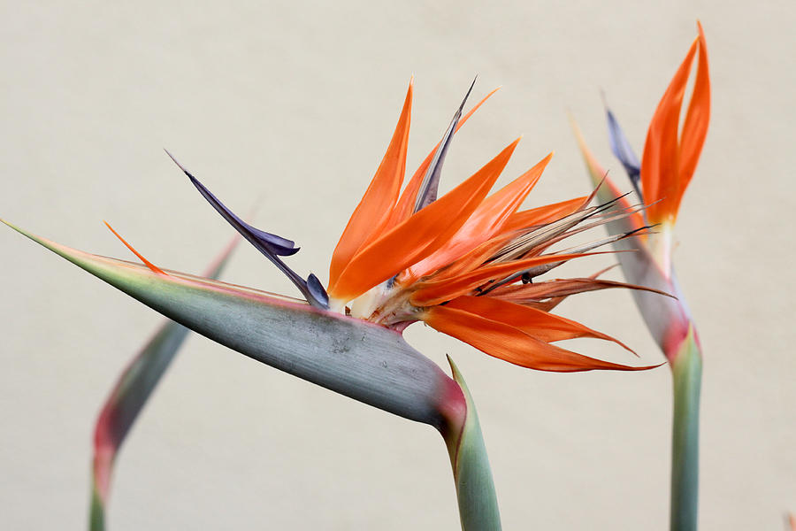 Bird Of Paradise Photograph - Bird Of Paradise by Denice Breaux