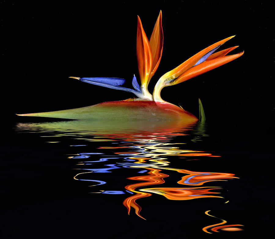 Bird of Paradise Flood by Geraldine Alexander