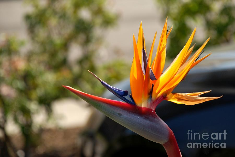 Nature Photograph - Bird Of Paradise by Leo Sopicki