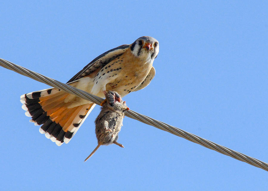 Kestrel Photograph - Bird of Prey by Jill Bell