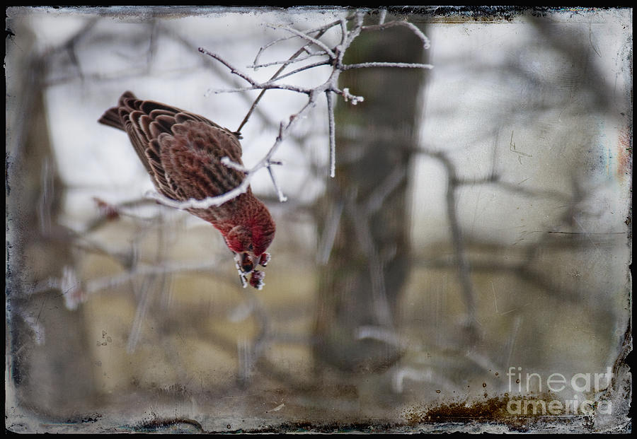 Bird Photograph - Bird Picking Berry by David Arment